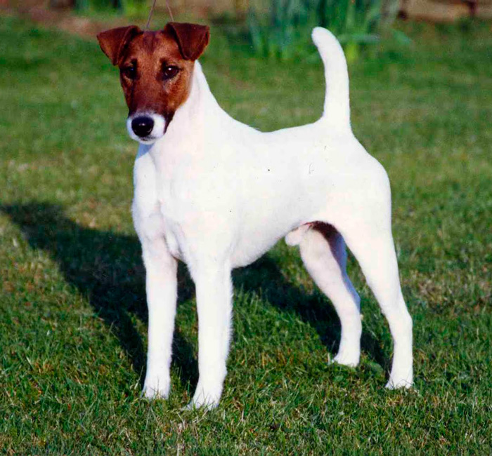 fox-terrier-smooth-dog